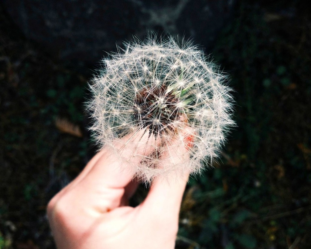 dandelion hold in woman hand